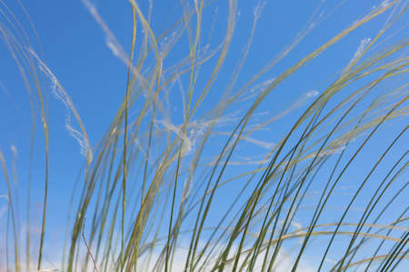 pennata: Stipa Against the backdrop of a blue summer sky