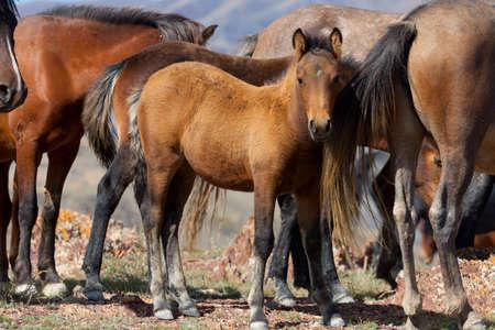 contemporaneous: Una mandria di cavalli con puledri