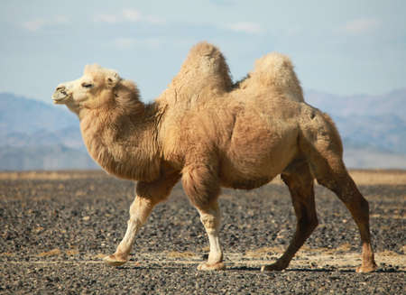 Bactrian camel in the steppes of Mongolia. True to transport a nomad photo
