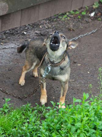 perro asustado: Pequeño perro atado a una cadena