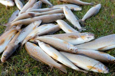 grayling: Grayling, vive un pez raro y sabroso en los r�os de monta�a