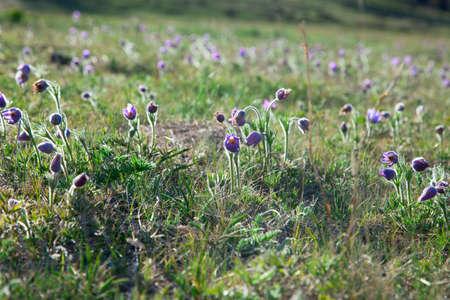 botan: purple Pulsatilla Grandis spring on the slopes of the Altai Mountains Stock Photo