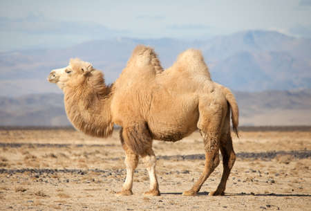 Bactrian camel in the steppes of Mongolia. True to transport a nomad