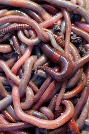Huge amount of earthworms close to fishing Stock Photo - 19096366