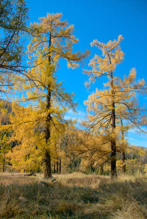 Autumn forest in Siberia. Yellow larch photo