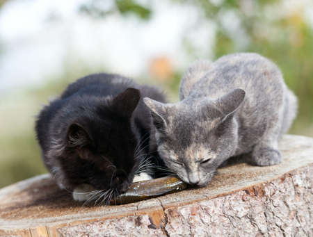 Two kittens eat fresh fish. photo
