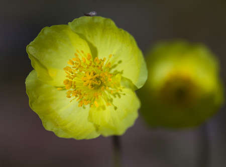 josef: Arctic Poppy, yellow flowers from the slopes of the Altai