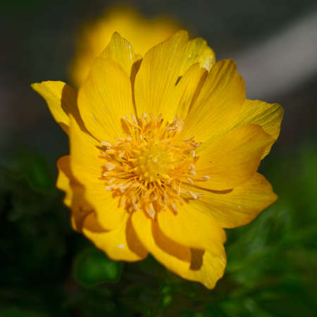 absolute: Yellow flowers of adonis on a green