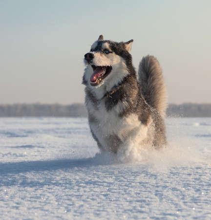 husky: Male Husky in a snowy field in winter in Siberia
