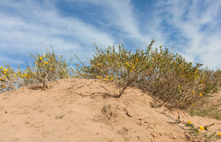 goi: Camel thorn bushes in the desert of Mongolia