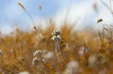 Edelweiss flower on a background of blue sky Stock fotó