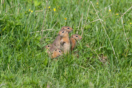varmint: Family gophers on the green grass Stock Photo