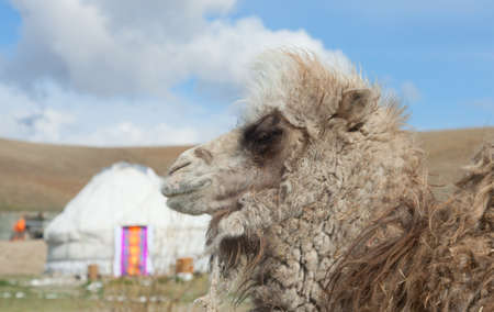 Young camel on the Mongolian yurt photo