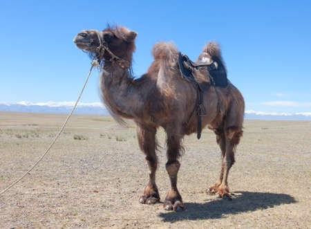 independent mongolia: Bactrian camel saddled for riding in the desert