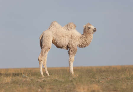 Lovely smiling camel with a hump