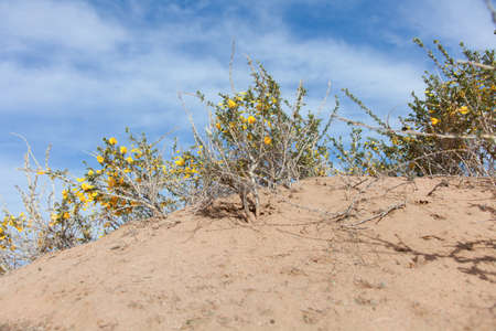 Camel thorn bushes in the desert of Mongolia photo