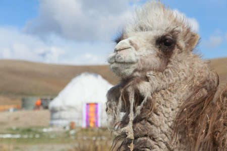 Young camel on a background of the Mongolian yurt photo