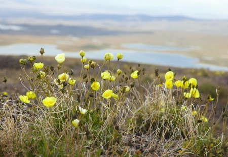 phytology: Raditsatum Papaver botanical name  poppy polar