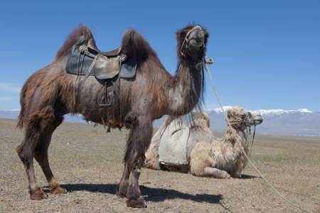 Bactrian camel saddled for riding in the desert photo