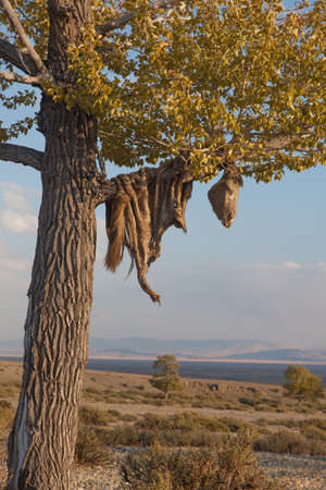 Hide sacrificial horse hanging on the tree photo