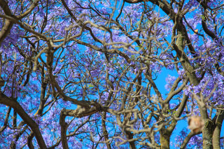ababa: Jacaranda bloom in the Churchill street of Ethiopia