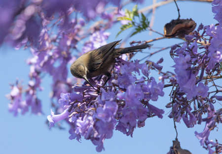 ababa: A bird in the branches of a flowering Jacaranda in Ethiopia, Addis Ababa, Churchill street