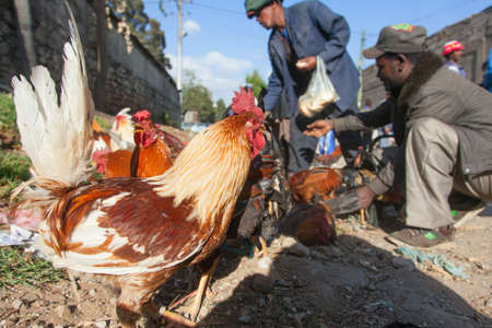 ethiopian ethnicity: Ethiopia,Addis Ababa, January 5,2014. Animal market on the eve of a religious celebration in Ethiopia, Addis Ababa, January, 2014. Editorial