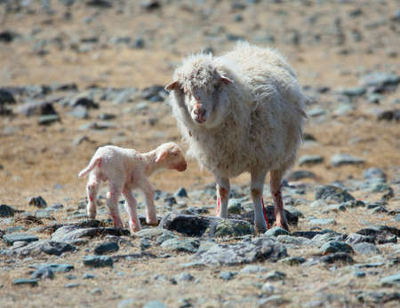 newborn lamb with mother on background of mountains photo
