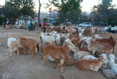 addis: Ethiopia,Addis Ababa, January 4,2014. Animal market on the eve of a religious celebration in Ethiopia, Addis Ababa, January 4, 2014.