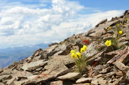 papaver: Papaver alpinum on blue sky background Stock Photo