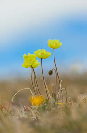 papaver: Papaver alpinum on blue sky background Stock Photo