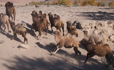running camel: A herd of camels to drink runs