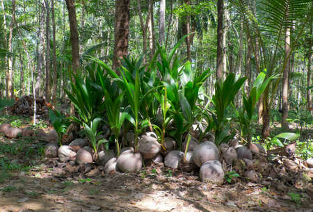 palmier: The growing shoots of coconut palms in the rainforest Banque d'images