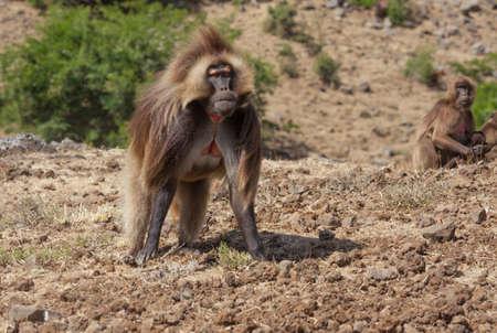 baboon: African baboon in Ethiopia