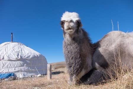 mongolian: Bactrian camels is from the Mongolian yurt