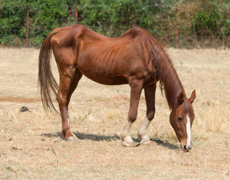 lame: Skinny horse in the pasture in the summer