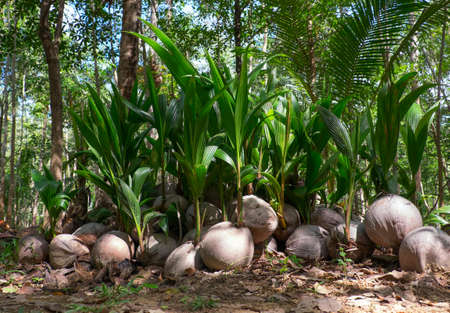 coconut seedlings: The growing shoots of coconut palms in the rainforest Stock Photo