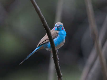 red and blue: Blue bird living in Ethiopia