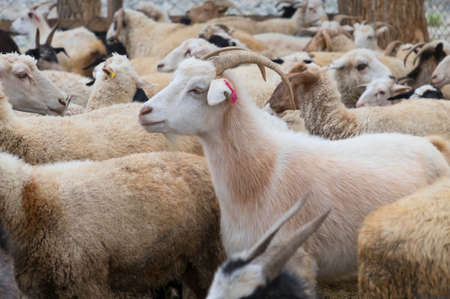he goat: Goats and sheep in a cattle-pen in Central Mongolia.