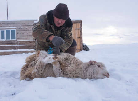 sheep skin: Shepherd with sheep skin removes from our own farm