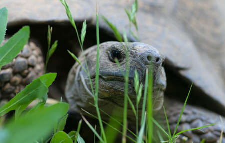 TORTOISE: Most African tortoise in the streets of Addis Ababa
