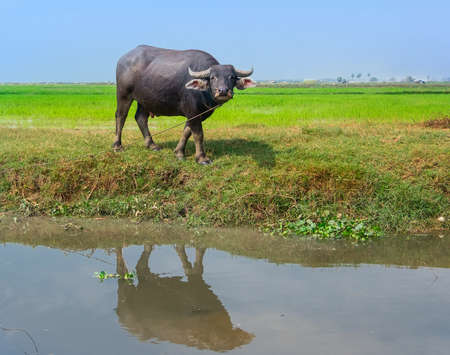 ruminate: Agricultural water Buffalo in a rice field