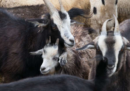 indigence: Goats and sheep in a cattle-pen in Central Mongolia.