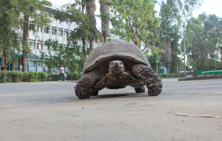 ababa: Most African tortoise in the streets of Addis Ababa