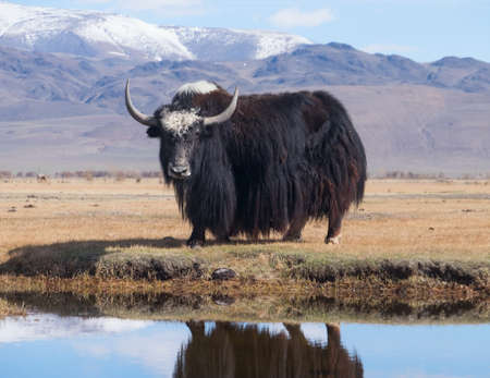 Black yak in the lake in the mountains Stock Photo