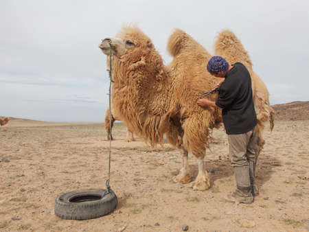 camel farm in central Asia