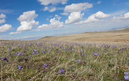 buds Pulsatilla grandis on the meadow Standard-Bild