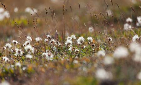Dryas - seeds ready to fly Alpine flowers Standard-Bild