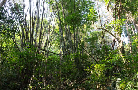 Bamboo jungle in the middle  of tropical Thailand