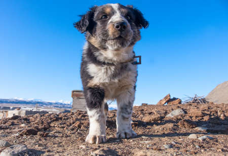 Small shepherd dog puppy in the steppes of Asia